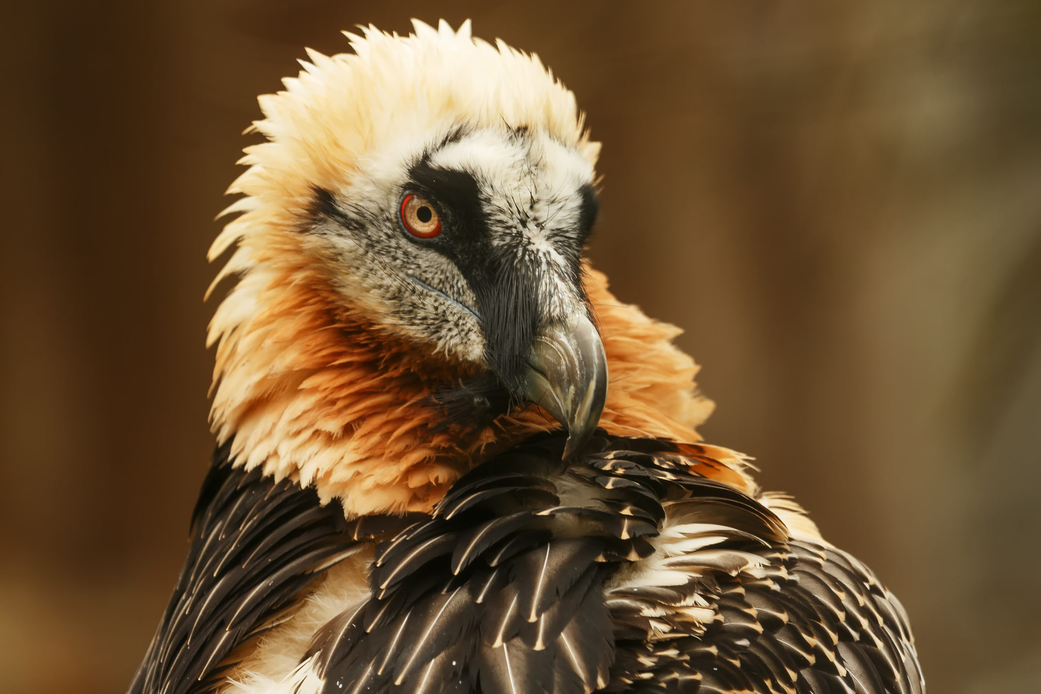 Photo of Bearded Vulture