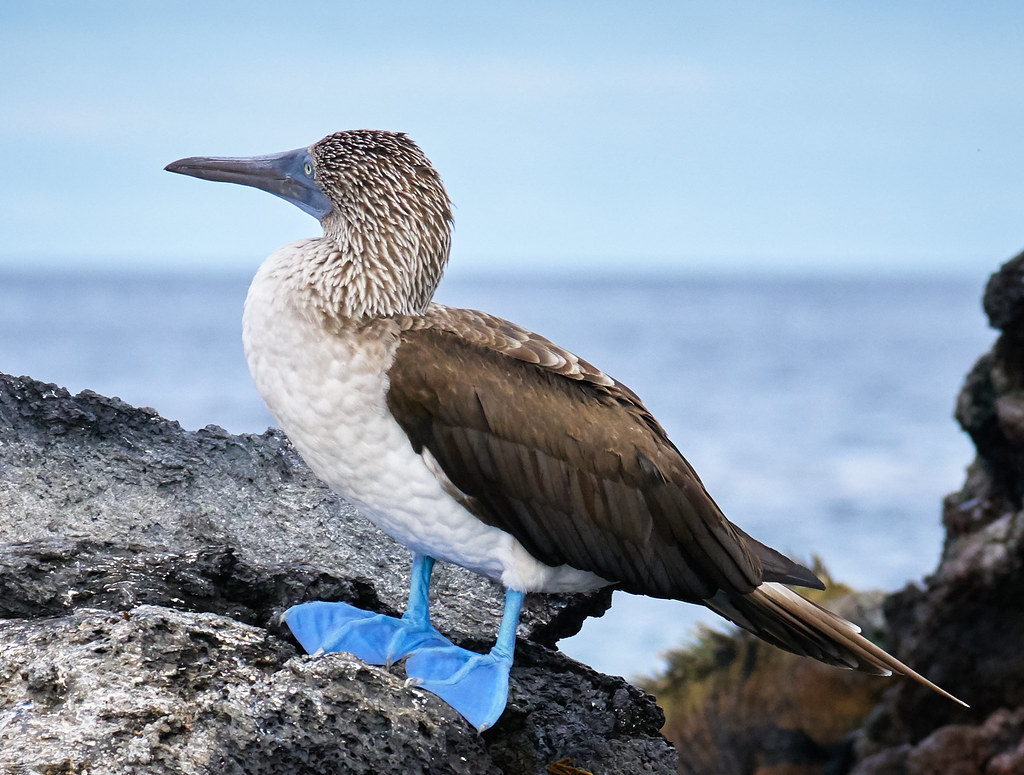 Photo of Blue Footed Boobie