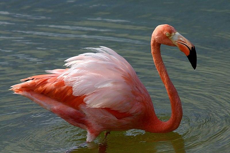 Photo of Greater Flamingo