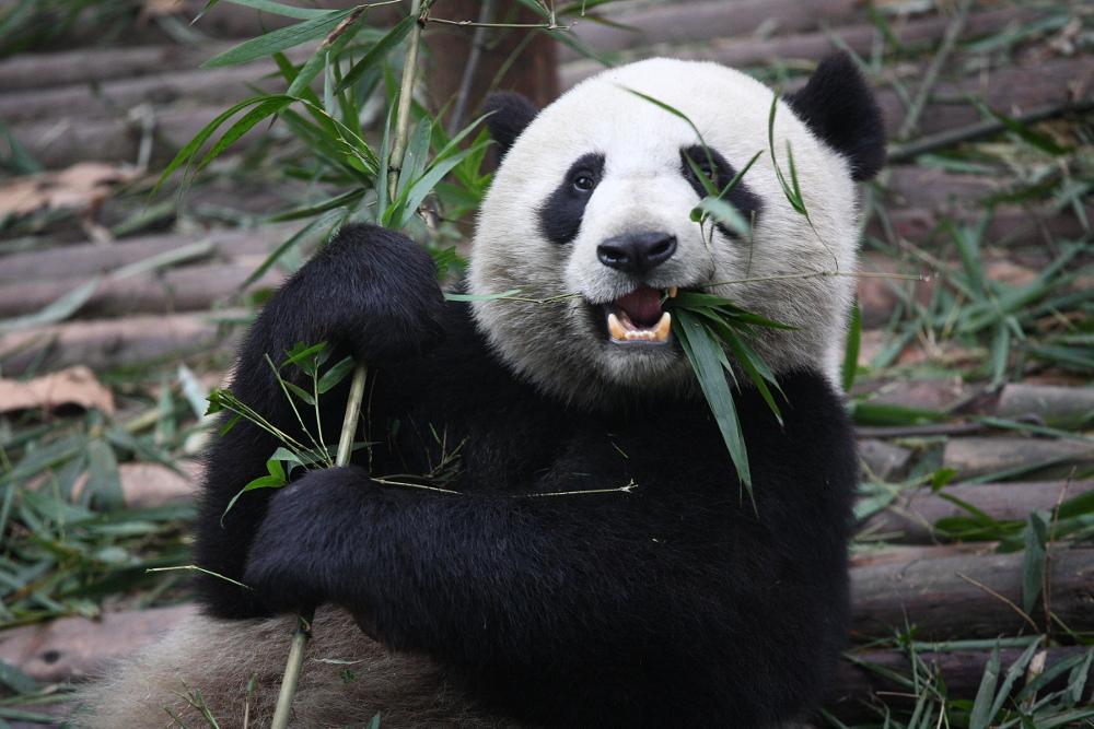 Photo of Giant Panda
