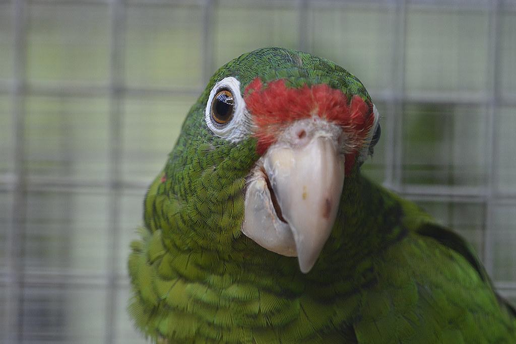 Photo of Puerto Rican Amazon Parrot