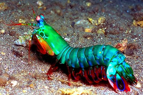 Photo of Peacock Mantis Shrimp
