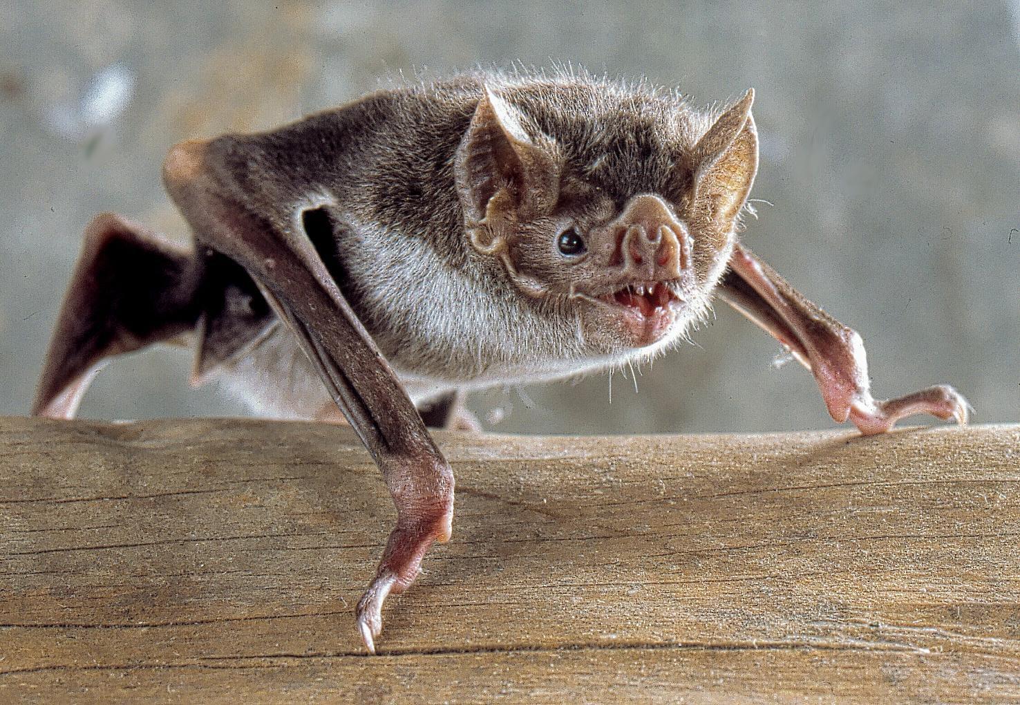 Photo of Vampire Bat